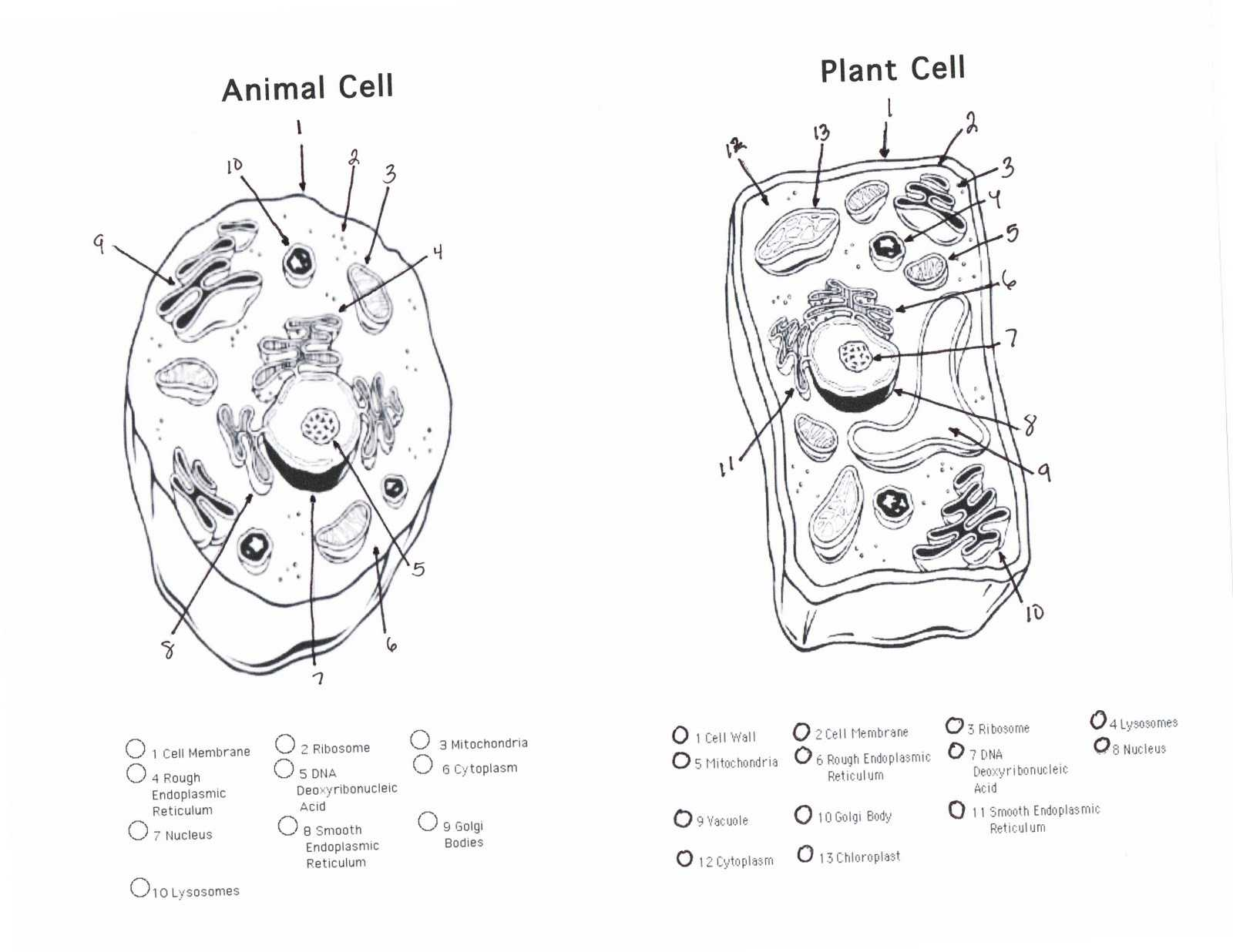 Cell organelles Worksheet Answer Key together with Plant Cell Coloring Sheet to Print