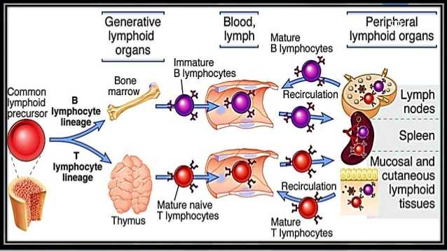 Cells Of the Immune System Student Worksheet Answers as Well as Cells Of Immune System 59 638 Cb=