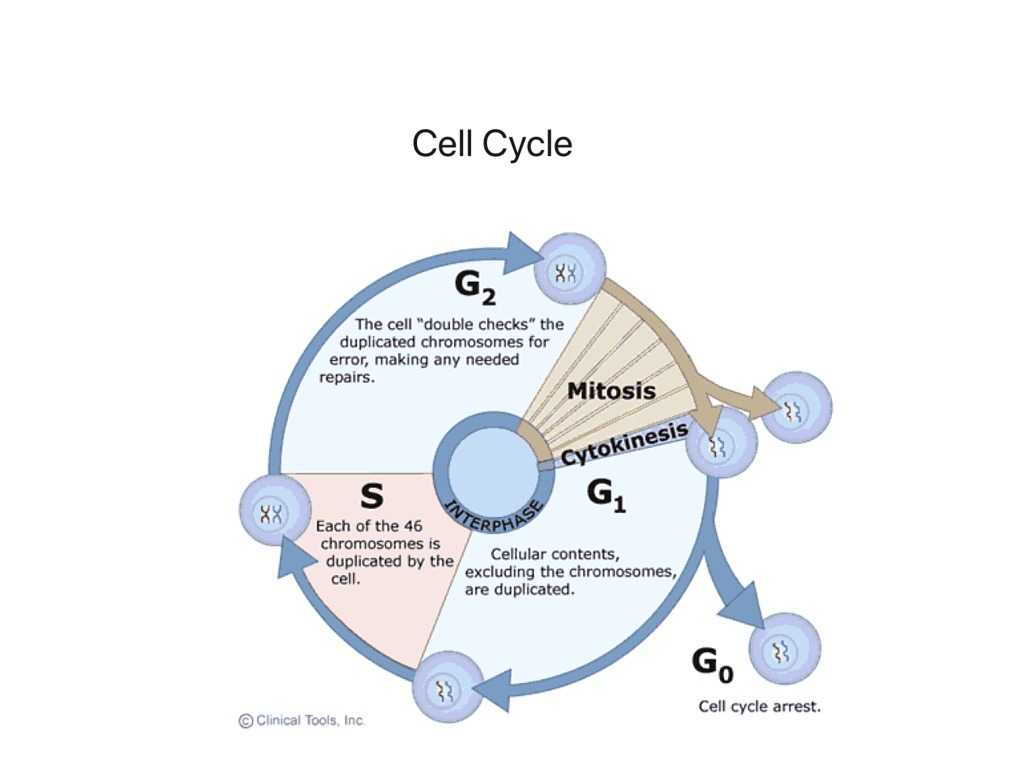 Cells Of the Immune System Student Worksheet together with Cell Cycle Science Humanbody Biology Showme