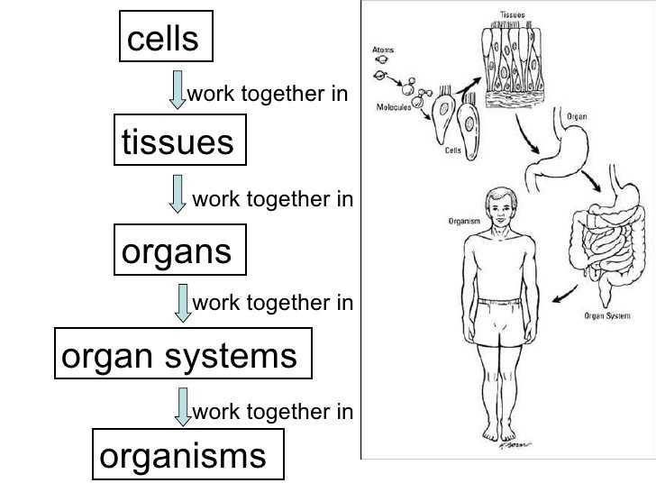 Cells Tissues organs organ Systems Worksheet with 33 New Cells Tissues organs organ Systems Worksheet