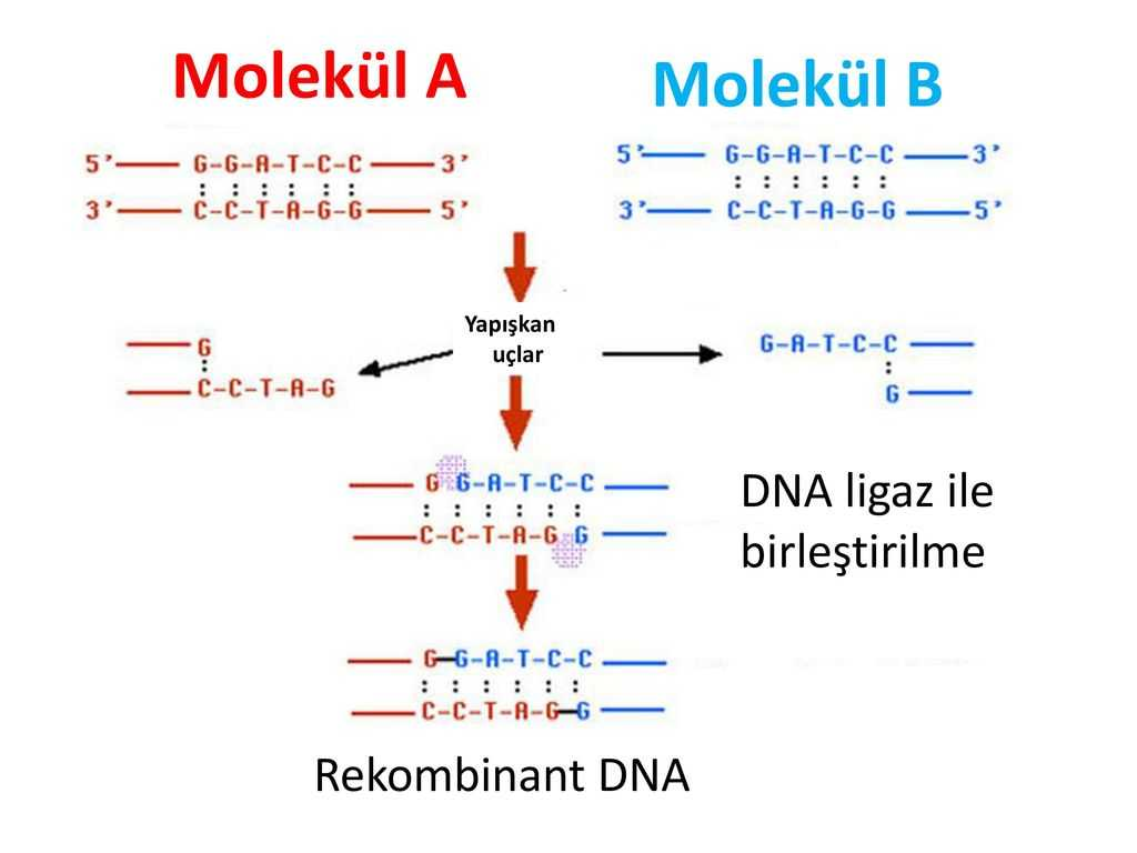 Dna Replication Worksheet as Well as Modern Genetk Uygulamalari Modern Genetk Uygulamalari