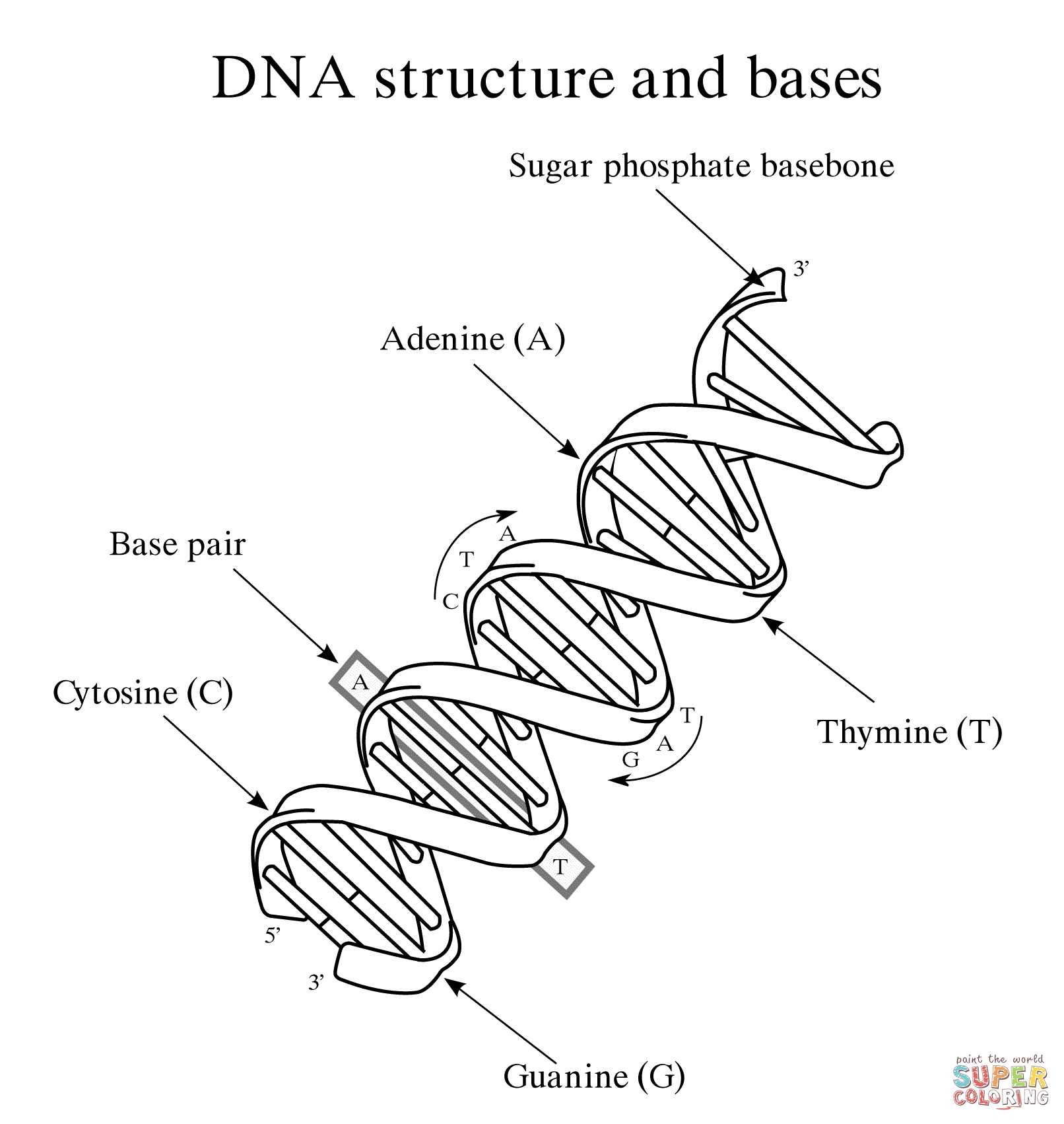 Dna Structure and Replication Worksheet Answer Key as Well as 28 Collection Of Dna Structure Drawing Worksheet