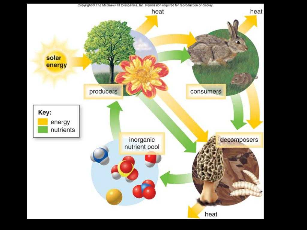 Energy Flow In Ecosystems Worksheet with October 16th by Laurie Seymour
