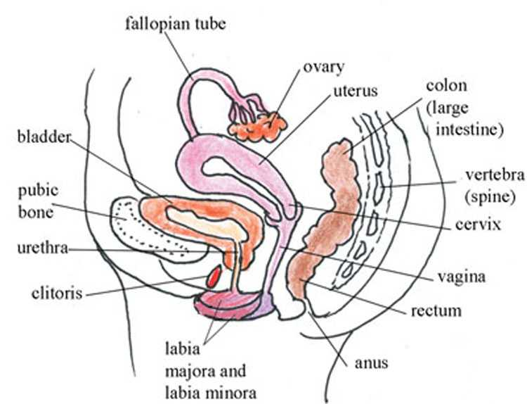 Female Reproductive System Worksheet Along with Antenatal Care Module 3 Anatomy and Physiology Of the Female