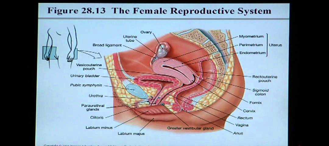 Female Reproductive System Worksheet Along with Großzügig Anatomy and Physiology Urinary System Pdf Bilder