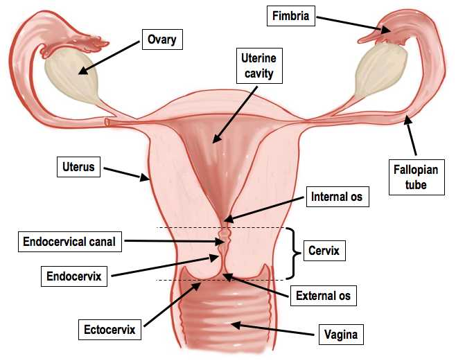 Female Reproductive System Worksheet together with Female Reproductive System Anatomy and Physiology