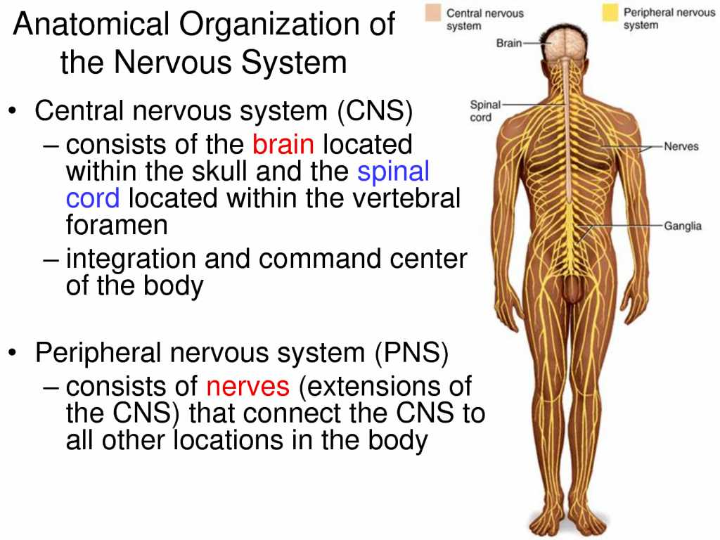 Organization Of the Nervous System Worksheet Answers and Anatomy the Spinal Cord In the Nervous System Structure O