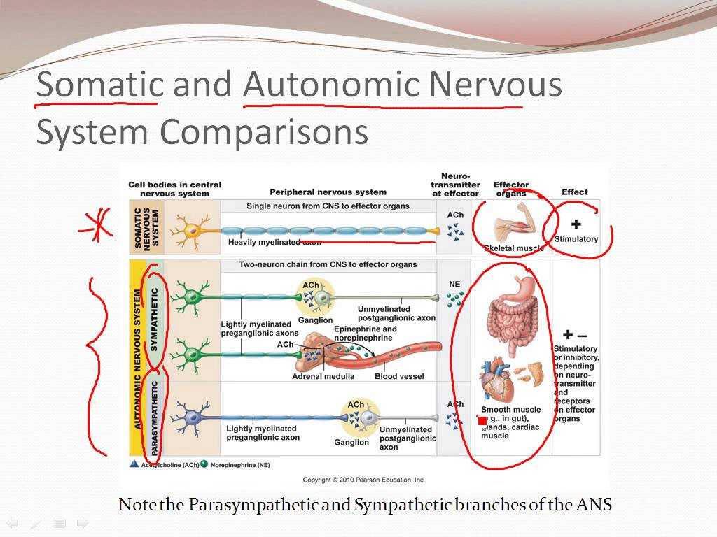 Organization Of the Nervous System Worksheet Answers or 4 7 the Autonomic Nervous System