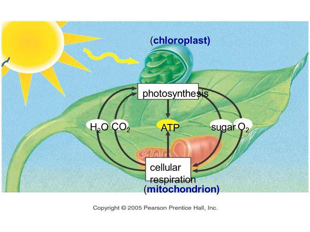 Photosynthesis & Cellular Respiration Worksheet Answers Along with Synthesis and Cellular Respiration Diagram Galleryh