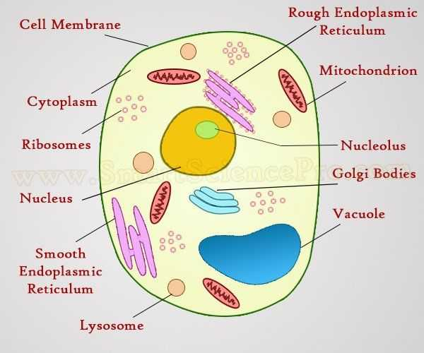 Plant Cell Worksheet together with Structure Of Animal Cell and Plant Cell Under Microscope Diagrams