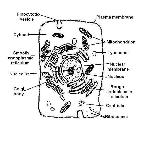 The Animal Cell Worksheet as Well as Plant Cell Drawing at Getdrawings
