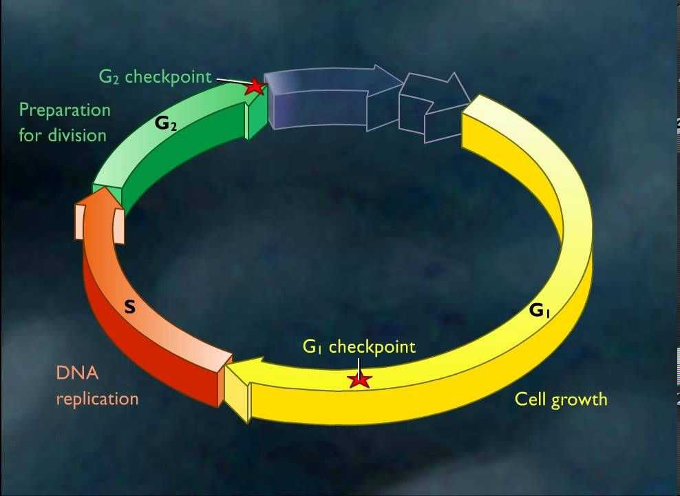 Virtual Lab the Cell Cycle and Cancer Worksheet Answers and 12 Best Cancer Biology Cell Cycle Images On Pinterest