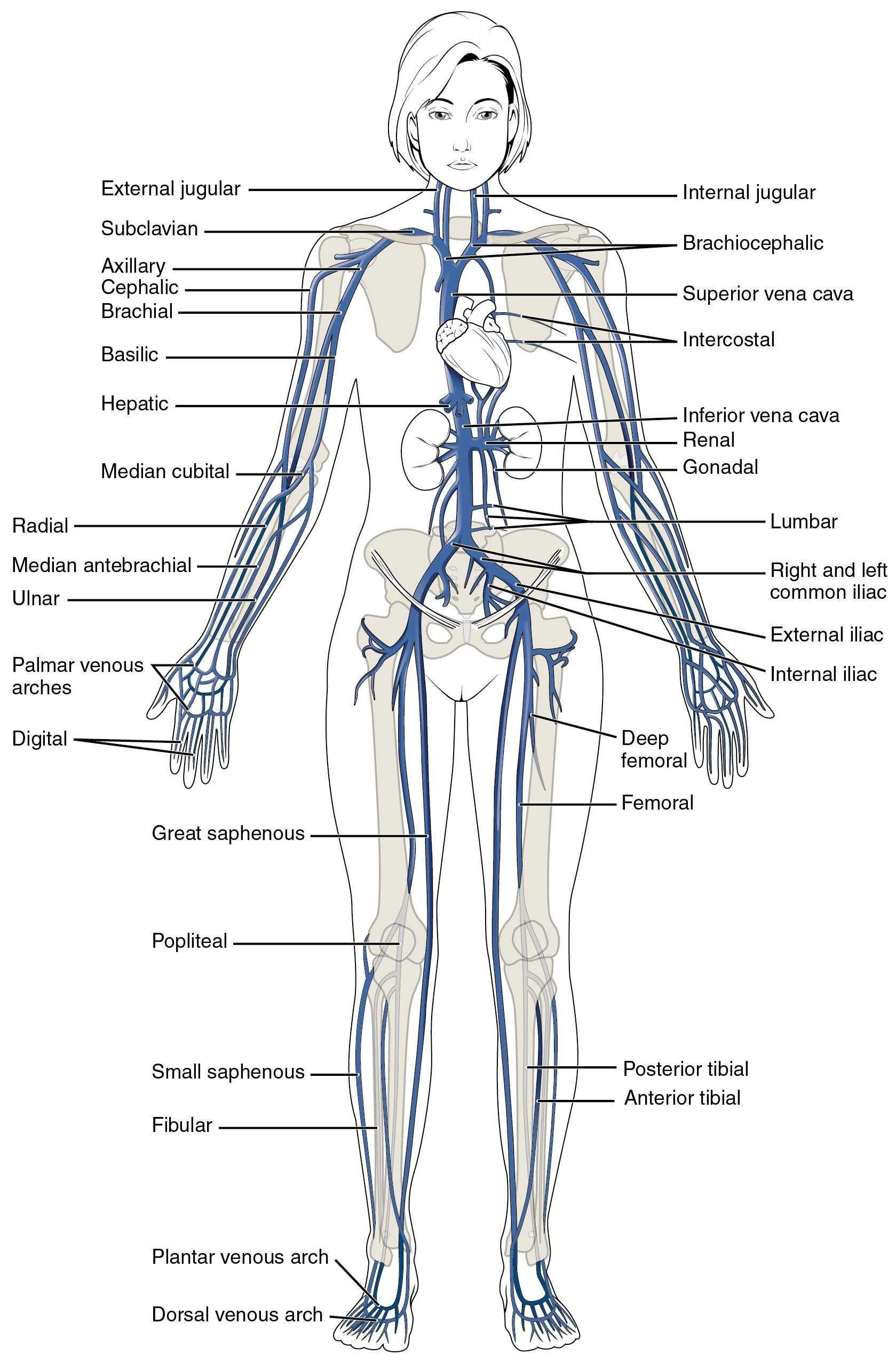 Body Tissues Worksheet Or 4th Grade Worksheets Math