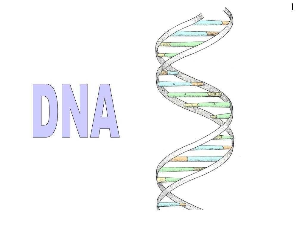 Dna The Double Helix Worksheet Answers As Well As Dna