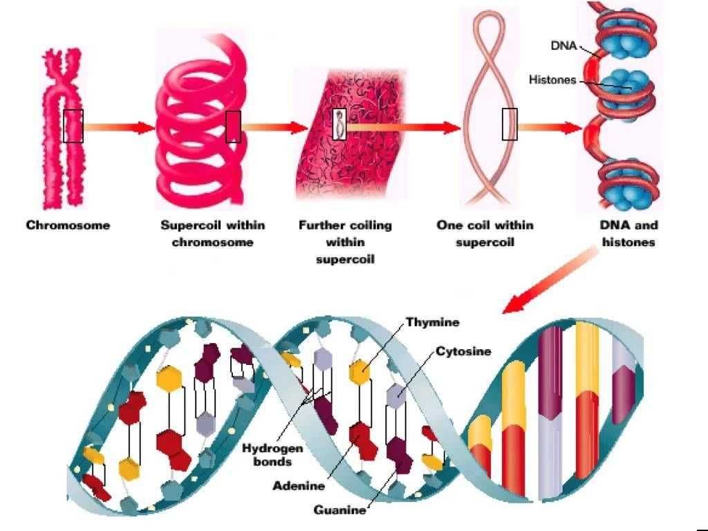 Dna The Double Helix Worksheet Answers Or Org Dna Eitleri