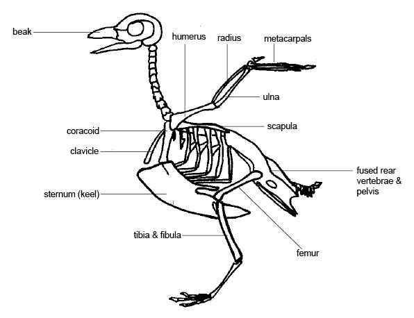Human Body Worksheets Also ornithology are there Birds with Knees Instead Of Elbows