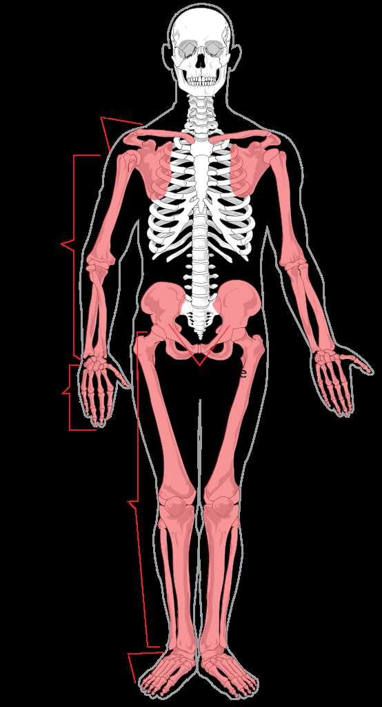 Human Body Worksheets as Well as File Appendicular Skeleton Diagramg Wikimedia Mons