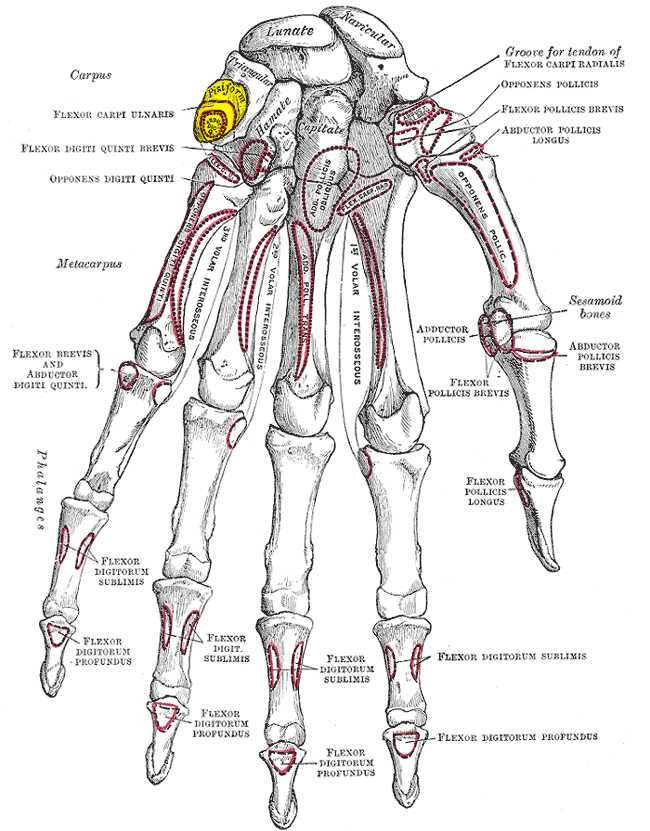 Human Body Worksheets or File Gray219 Pisiform Bone Wikimedia Mons