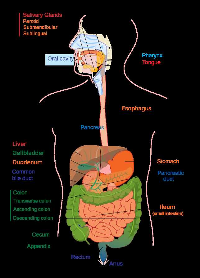 Human Body Worksheets together with File Digestive System Diagram Editg Wikimedia Mons