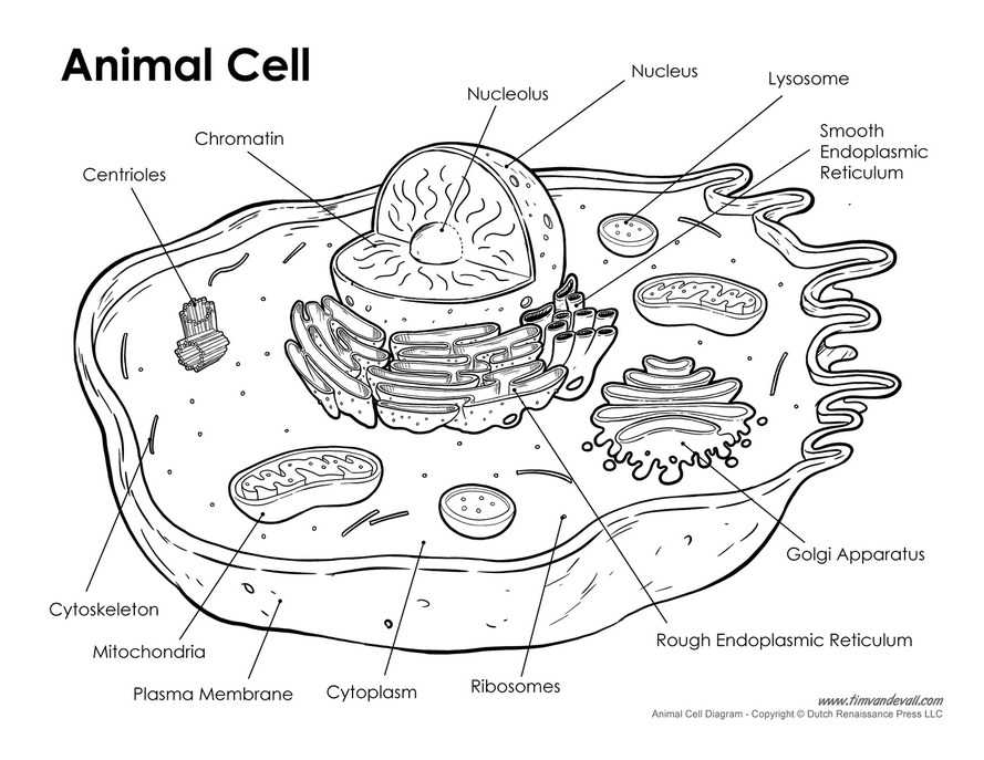 Plant and Animal Cell Coloring Worksheets together with Plant Cell Free Coloring Pages
