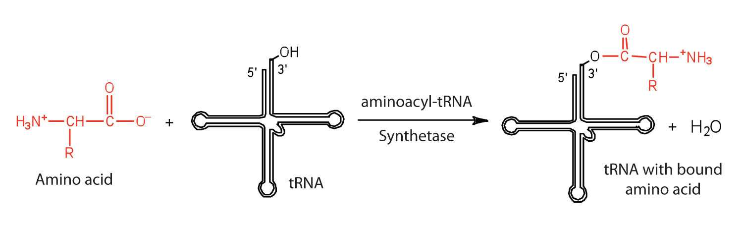 Protein Synthesis and Amino Acid Worksheet Answers as Well as Protein Synthesis and the Genetic Code