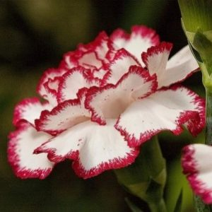 semestafakta-Dianthus