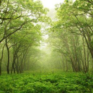 semestafakta-changa-manga-forest