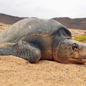 semestafakta-Loggerhead turtles