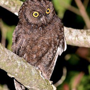 semestafakta-Anjouan Scops-Owl