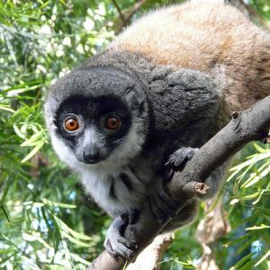 semestafakta-The Mongoose Lemur comoros