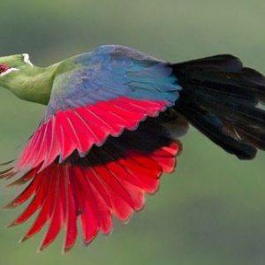 semestafakta-The red feathers of the lourie bird