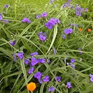 semestafakta-The spiderwort flower 2