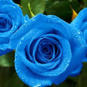 semestafakta-blue rose