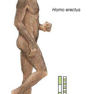 semestafakta-Homo Erectus