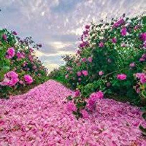 rose valley bulgaria2