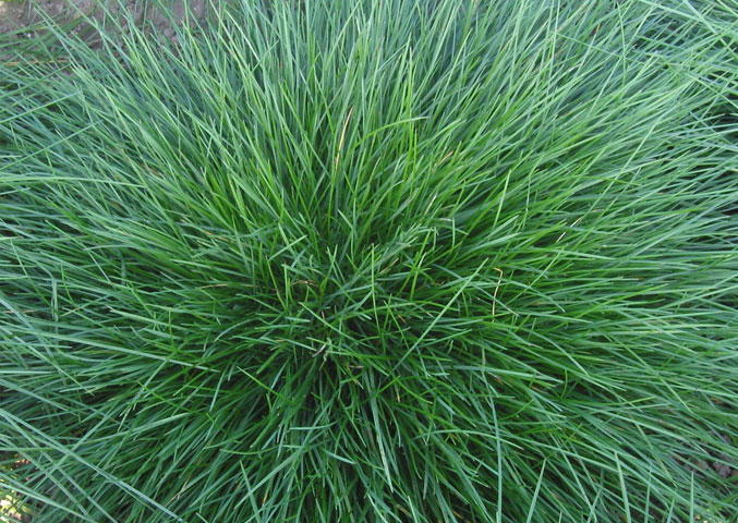 Grasses and how on closer inspection they don t really all for Festuca prato