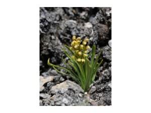 Orchideeën uit het Parc National de la Vanoise door Sandra Wilfert
