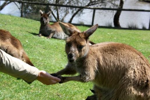 Mi amigo el canguro