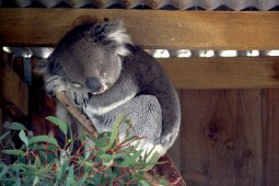 Un koala durmiendo