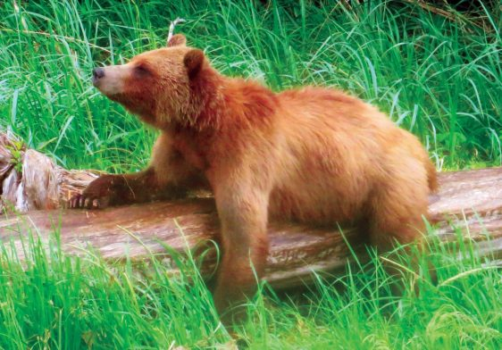 """Juvenile Grizzly """"logging onto"""" for a good scratch."""