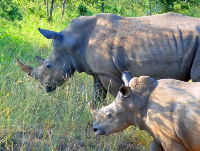 A rhino and her offspring walk into the underbrush.