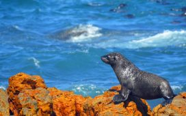 Thousands of fur seals can be seen on Dyer Island Cruises.