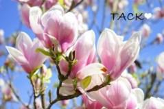 magnolia-324276_960_720