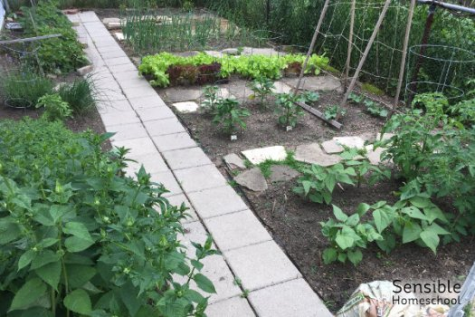 Thriving home vegetable garden in June