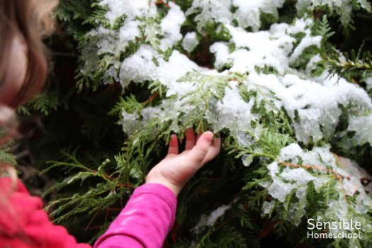Preschool girl touches snowy evergreen bush