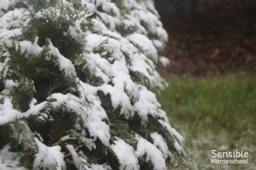 Snow on evergreen bush in suburban yard