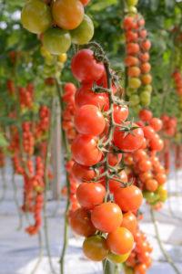 Il pomodoro ciliegino che profuma di Sicilia