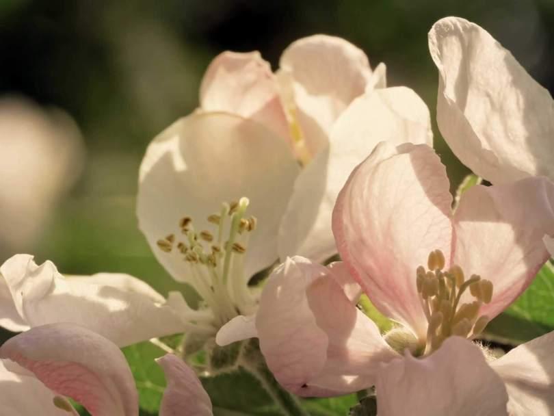 fioritura_meli_Val Venosta