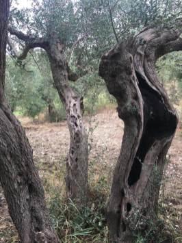 L'Olio Evo che cura la violenza