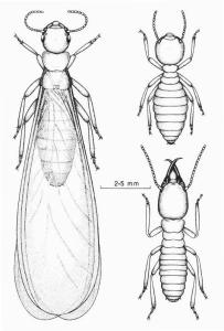 Termites - Alate(reproductive), Worker and soldier